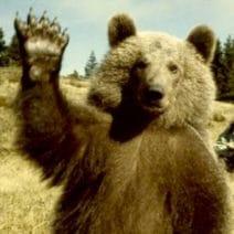 Un ours debout, patte droite levée comme pour saluer